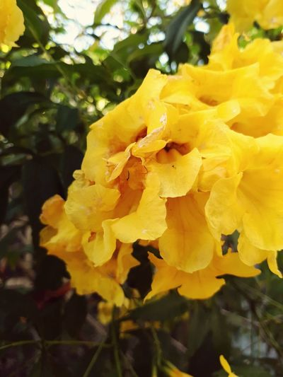 yellowbells Yellow Flower Nature Close-up Freshness Petal Plant Beauty In Nature