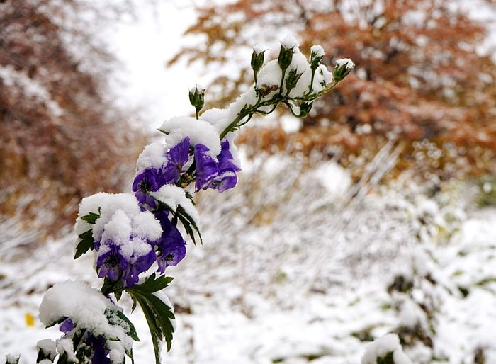 Flower Nature Growth Beauty In Nature Fragility Freshness Close-up Petal Tree First Snow Last Flower Before Winter From Autumn To Winter Planten Un Blomen No People Flower Head Purple Day Outdoors Blossom Branch
