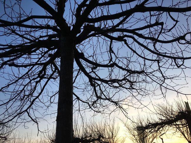 Silhouette eines Baums bei Sonnenuntergang mit verzweigten Ästen Ast Nature Bäume Baum Ohne Laub Berühren Ineinander Ineinandergreifend Verschlungen Dunkel Silhouette Kontur Hintergrund Verziert Wachstum Holz Zweig Biegung Jahreszeit Himmel Blau Sonnenlicht Abenddämmerung Sonnenuntergang