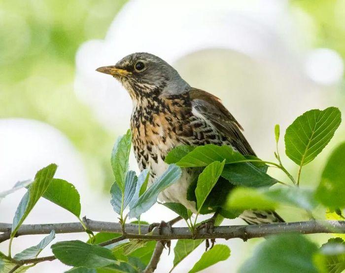 Björktrast Björktrast Bird Tree Summer
