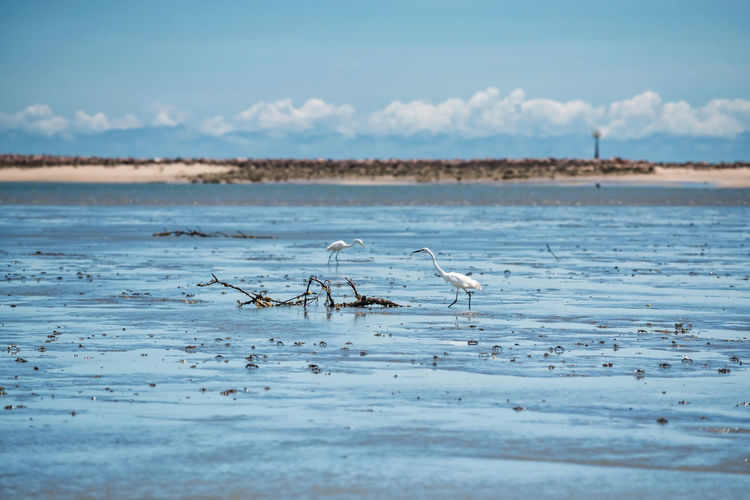 Great egrets look for crab to eat on sea mud during low tide at thale waek of phetchaburi, thailand.