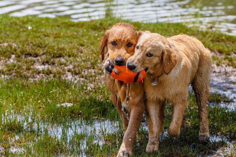 The Ball Dispute - Two retrievers compete for the ball (or what's left of it). Water Pets Dog Dogs Outdoors Grass Wet Lake Labrador Retriever Brown Golden Retriever Mansbestfriend Canine Retriever Mammal No People Animal Themes Domestic Animals Wet Dog Wet Dogs Dog Friends Dogs At Play