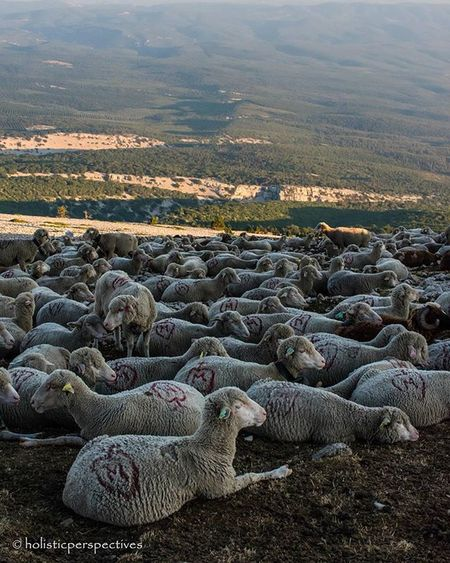 High altitude lamb Sheep Mountventoux