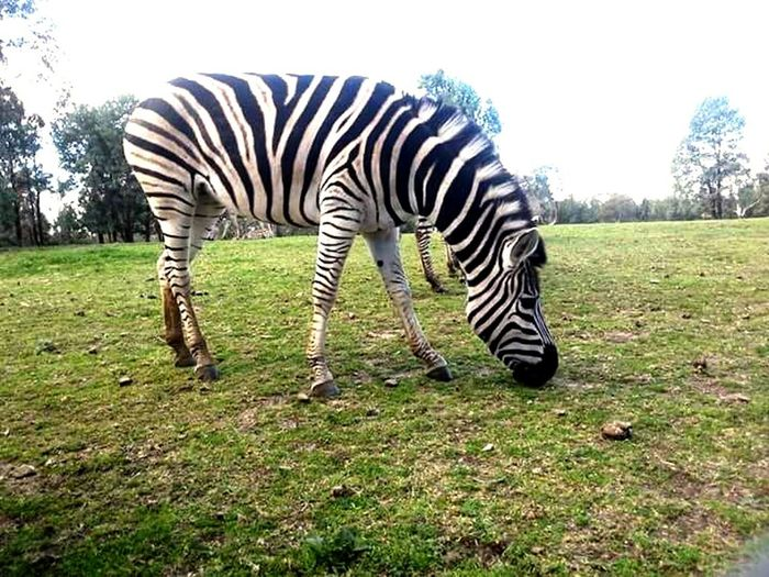 Zebra Striped One Animal Mammal Grazing Western Planes Zoo Animal