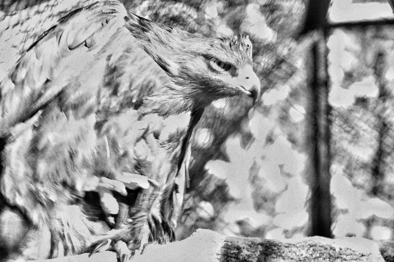 Animal Head  Animal Themes Art And Craft Birds Eagle Grass Nature No People One Animal Relaxation Relaxing Side View Tranquility Wildlife Zoology зоопарк клюв орел портрет птица чернобелоефото
