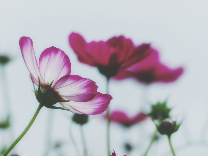 I want to be you Japanese Garden Japan Photography Autumn Flowers Autumn Cosmos Flower Cosmos コスモス 秋桜 Flowering Plant Flower Plant Freshness Vulnerability  Petal Fragility Beauty In Nature Inflorescence Close-up Flower Head Pink Color Purple