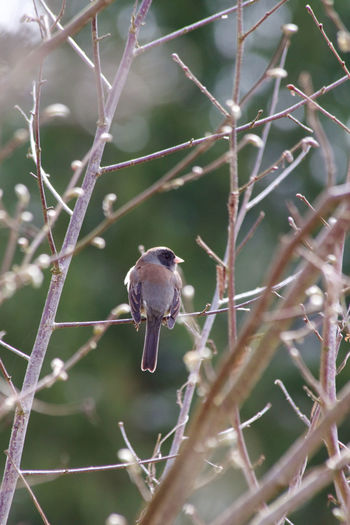 Animal Wildlife One Animal Animals In The Wild Animal Animal Themes Bird Perching Plant Day Nature No People Outdoors Tree Branch Sparrow Twig