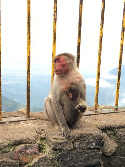 EyeEm Selects Animal Themes Monkey Mammal Animals In The Wild Animals Love Sitting No People Outdoors The Great Outdoors - 2017 EyeEm Awards Wildlife One Animal Animal Wildlife Candid Photography Candid Portraits Nature Rock - Object Suicidepoint Kodaidairies Incredibleindia Travel Photography Sommergefühle EyeEm Selects