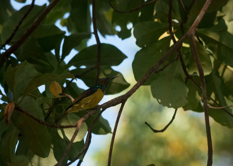 The Brown-throated Sunbird Animal Themes Animals Animals In The Wild Beauty In Nature Bird Bird Photography Birds Birds Of EyeEm  Birds_collection Branch Brown-throated Sunbird Close-up Focus On Foreground Leaf No People Olive-backed Sunbird Outdoors Perching Perching Bird Selective Focus Spiderhunter Tree Twig Wildlife