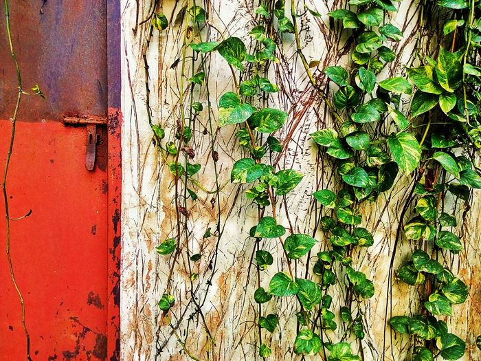 Ivy Plant Creeper Plant Wall And Ivy Wall And Creeper Door The Door Creeper On Wall Ivy Photography Ivy Collection Ivy On Wall Leaves Photography Leaves Collection Leaves Color Leaf Photography Leaf Collection Leaf Color Creeper Photography Creeper Collection Creeper Leaves Textured  Pattern Textured  Nature Leaf Ivy