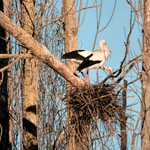 Nest Building Storks Couple Low Angle View Animals In The Wild No People Outdoors Botany Stork Making A Nest