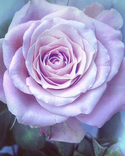Roses Close-up Petal Flower Fragility Single Flower Freshness Macro Rosé In Bloom Softness Light Pink