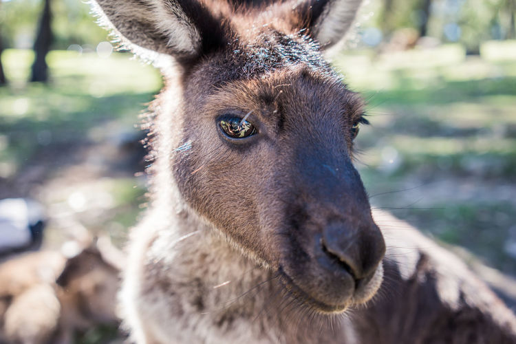 Animal Animal Body Part Animal Head  Animal Themes Animal Wildlife Animals In The Wild Close-up Day Domestic Animals Focus On Foreground Herbivorous Looking Looking At Camera Mammal Nature No People One Animal Outdoors Pettingzoo Portrait Snout Sunlight Vertebrate Wallabies Wallaby
