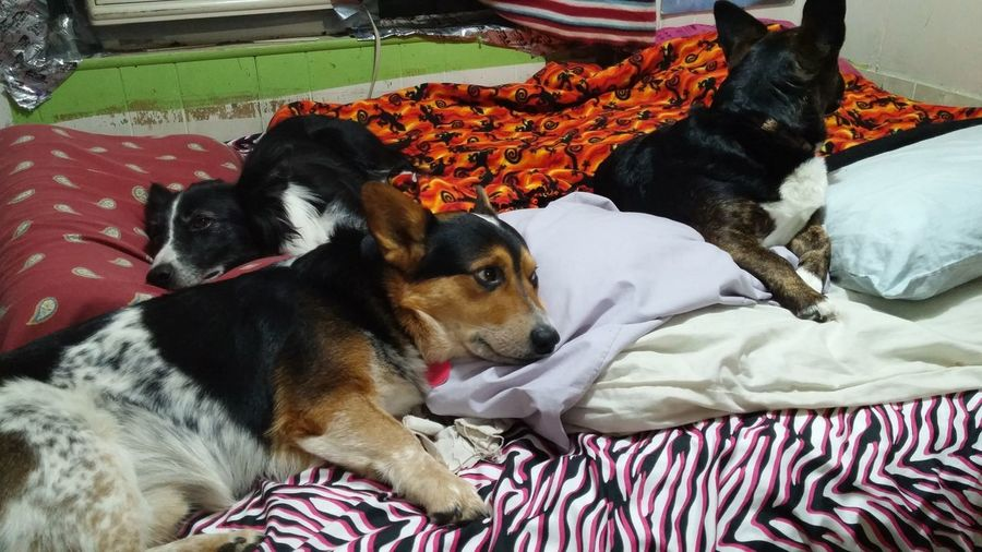 High angle view of dogs relaxing on bed at home