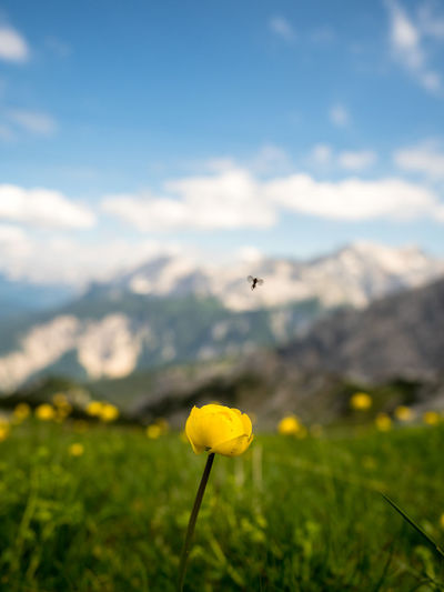Small fly above a flower Fly Alps Beauty In Nature Close-up Cloud - Sky Day Field Flower Flower Head Flowering Plant Focus On Foreground Fragility Freshness Growth Insect Land Landscape Nature Outdoors Petal Plant Sky Springtime Vulnerability  Yellow