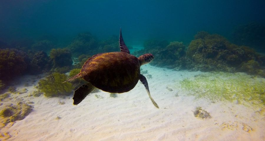 Underwater Sea Animal Wildlife Turtle Snorkeling Philippines Balicasag Graceful Majestic Travel Gopro Goprohero5 Redfilter Bohol Nature Sea Life UnderSea Swimming Water Nature Coral Animals In The Wild Beauty In Nature Animal Themes Living Organism First Eyeem Photo