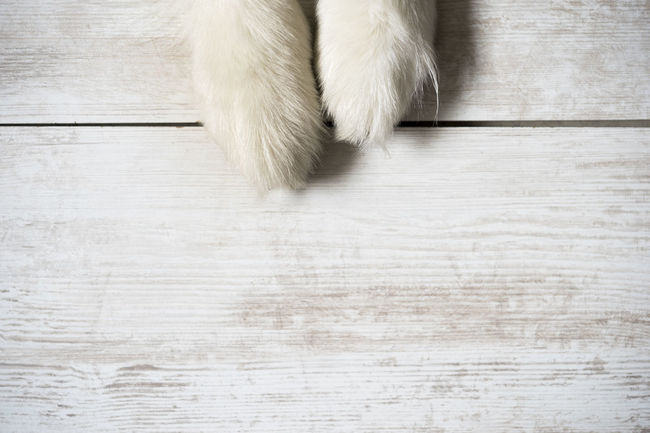 Paws of an australian shepherd (dog) Australian Shepherd  Blue Merle Dog Paw Hair Animal Photography Blue Merle Dogs Claws Close-up Day Directly Above Dog Breed Empty Hardwood Floor High Angle View Indoors  Low Section No People Pad Paw Pets Space White White Haired Dog Wood - Material