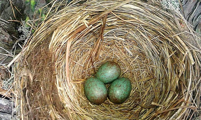 Bird Nests Birdnest Robin Thrush Beautiful Nature Nature Nature_collection EyeEm Nature Lover Nature Photography Naturephotography