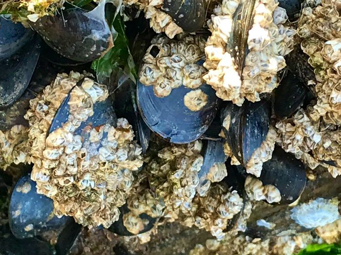 Alive alive oh Marine Gastropods Mussels Barnacles High Angle View No People Nature Day Full Frame Outdoors Shell Close-up Backgrounds Beauty In Nature Seashell Animal Animal Shell Animal Wildlife Rock