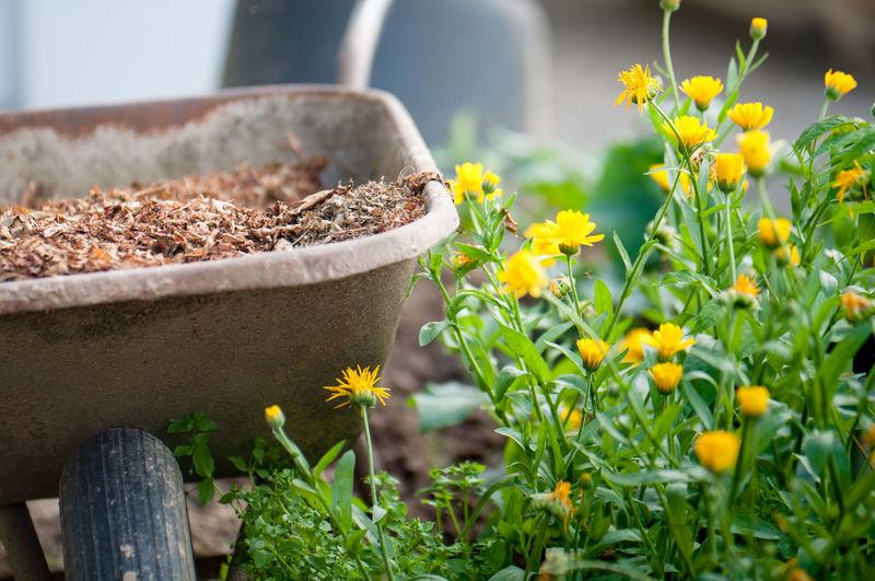 Yellow flowers blooming by wheelbarrow in garden