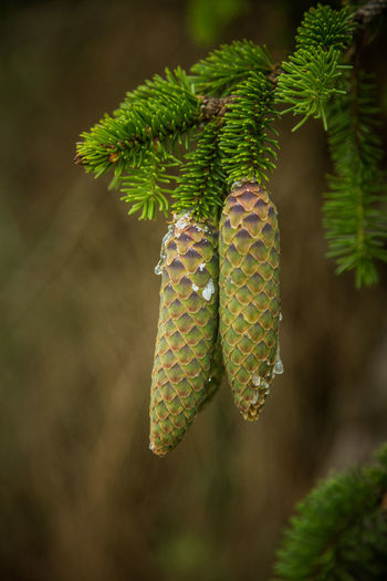 Beautiful, young spruce tree cones with resin dripping. Spring scenery, Christmas decoration. Europe Beautiful Branch Bright Christmas Color Cone Conifer  Coniferous Country Day Decoration Droplets Dry Environment Evergreen Fir Forest Forestry Fresh Green Growing Hanging Low Natural Nature Needle Outdoors Outside Park Pattern Pretty Resin Scales Scenery Season  Seeds Spikes Spring Spruce Summer Texture Tree Vibrant Wild Wood Young Growth Close-up Green Color Plant No People Focus On Foreground Beauty In Nature Leaf Coniferous Tree