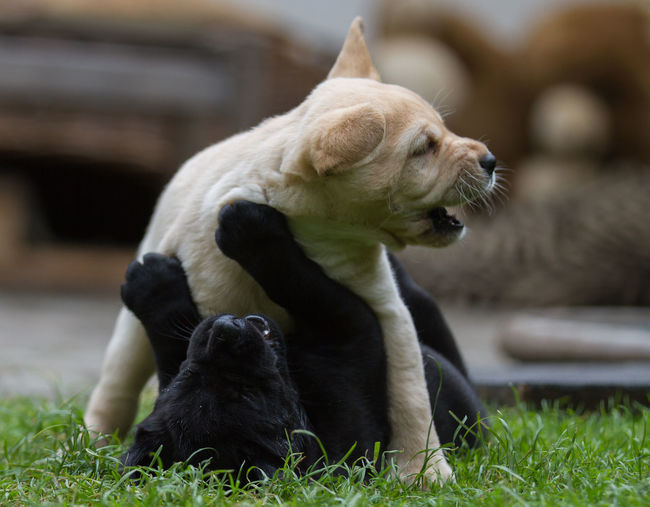 Close-up of labrador retriever puppies playing on field