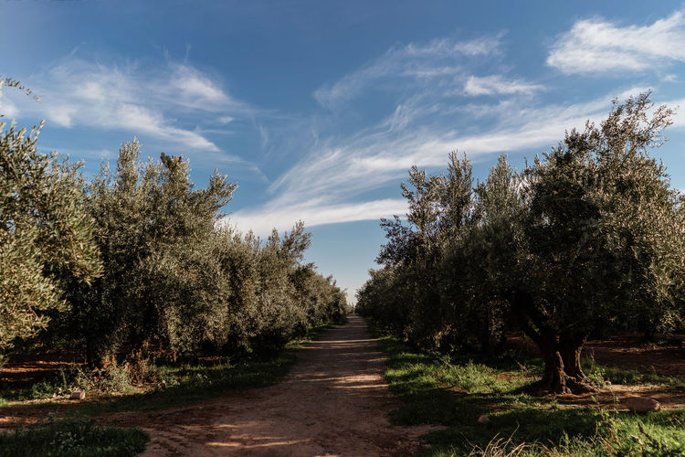 Marrakech Marrakesh Morocco Travel Destinations Tourist Attraction  Olive Tree Tranquil Scene The Way Forward Beauty In Nature No People Tranquility Footpath Landscape Scenics - Nature Growth Diminishing Perspective Outdoors Field Tree Plant Direction Sky Nature Treelined Sunlight