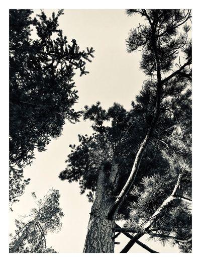 Big Tree Tree