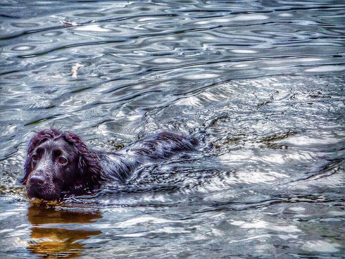 Water Cocker Spaniel  My Dog Cumbria Lake District Grassmere