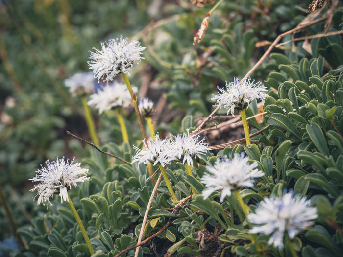 The nacked stemed ballflower (Globularia nudicaulis) belongs to the genus of spherical flowers (Globularia), which in turn belong to the family Plantain Family (Plantaginaceae). The plant grows between 5 and 25 cm high. As the name implies, the stem of the flower is naked, so it has no leaves. These grow only at the foot of the plant and grow to about 5 to 12 cm long. The blue-violet, globally spherical flowers are best seen in the period from May to July, the main flowering period of this plant. Because of its beautiful flower this alpine flower is also often found in rockeries Germany Hirschberg Tergernsee Nacktstängelige Kugelblume Kugelblume Globularia Nudicaulis Flowering Plant Flower Plant Freshness Fragility Growth Vulnerability  Beauty In Nature Flower Head Inflorescence Nature Petal Focus On Foreground Close-up White Color No People Day Land Field Outdoors Softness Ballflower Blue Violet Blooming Hirschberg Green Plant Growing Alps Mountain Herbs Light