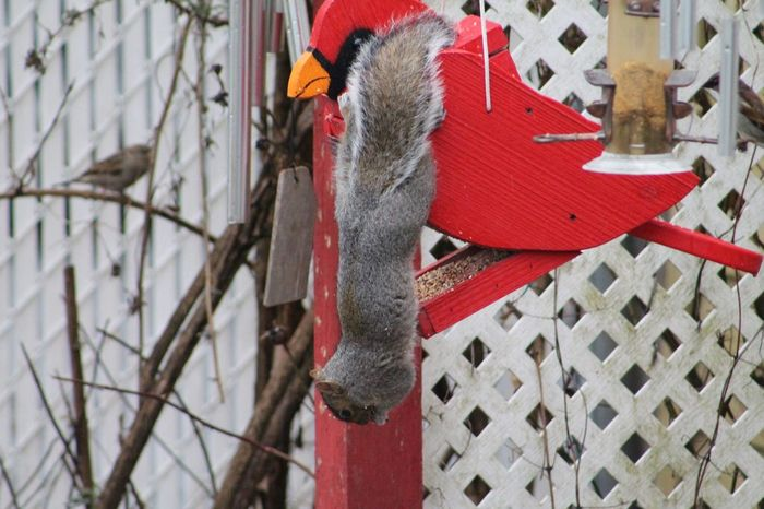 Day Hanging No People Outdoors Red Squirrel Eating Birdfeeders