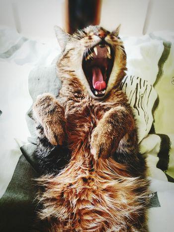 Yawning Close-up No People Portrait Day Cats Lion King  Kazik First Eyeem Photo