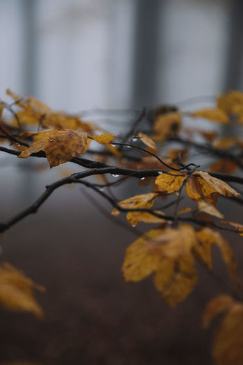 Close-up of yellow maple leaves on plant
