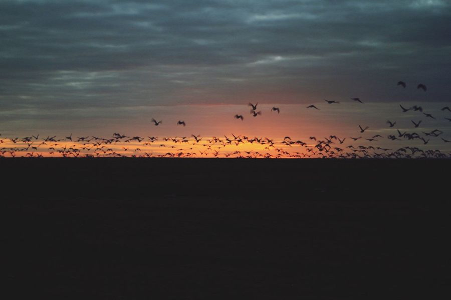 EyeEmNewHere Sunset Nature Flying Sky Dusk Bird Silhouette Migrating Outdoors Wildlife Flock Of Birds Nordsee Togetherness Scenics Beauty In Nature No People Hallig Animals In The Wild Cloud - Sky Animal Themes Animal Wildlife Large Group Of Animals Ringelgänse Hallig Hooge Be. Ready.