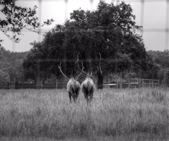 EyeEm Nature Lover Tadaa Community EyeEm Best Shots - Black + White EyeEm Animal Lover The photo does nothing to give the true meaning of huge!!! @jonimariewhiting ... I knew these 2 photos would would be relative to the photo of the deer you recently posted... ???