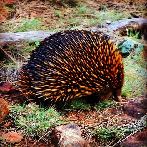 Seeing a Echidna on top of Mt Majura made my Sunday hike worthwhile ... Such cute natives!!!!