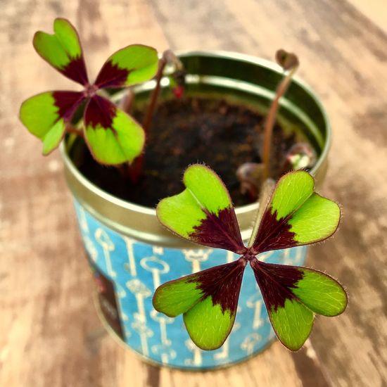 Potted Plant Plant Leaf 4leafclover Clover Clover Leaf Four Leaf Clovers 🍀 Four Leaf Clover TakeoverContrast