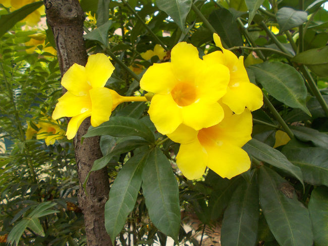 yellow allamanda flower at the tree, alamanda Alamanda Allamanda Allamanda Flower Beauty In Nature Blooming Blooming Flower Day Flower Flower Head Fragility Freshness Freshness Growth Leaf Nature No People Outdoors Petal Petals Plant Tree Yellow Yellow Allamanda