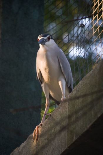 Low angle view of black crowned night heron perching on retaining wall