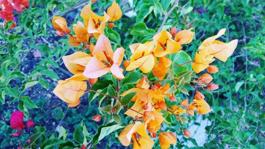 Bougainvillea Flower Of Thailand First Eyeem Photo