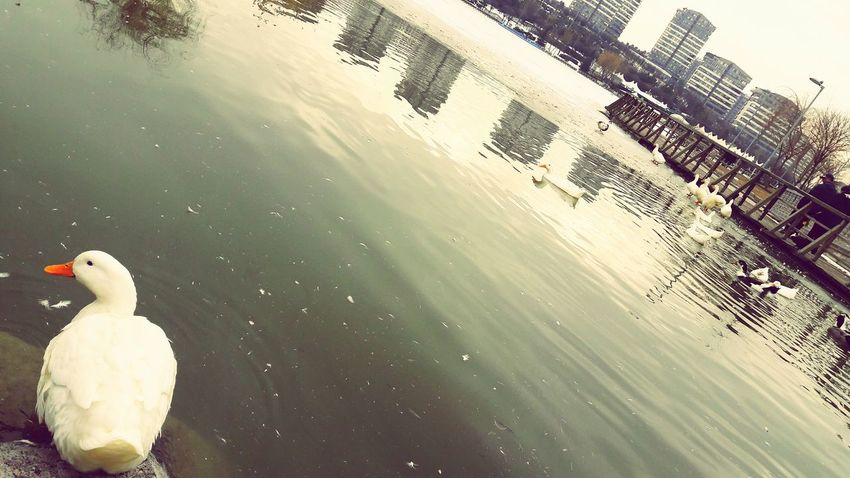 Adapted To The City Life1 No People Outdoors Day Water Lake Dinlence Göl Ordek Mesireyeri Gezinti Duck Masumiyet
