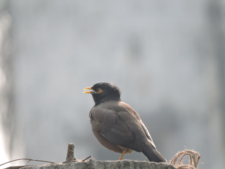 Bird Animal Animal Wildlife Animal Themes Animals In The Wild One Animal Songbird  Outdoors No People Nature Day Beauty In Nature Survival Perching Close-up Maina Mynahbird Mynah Birds🐦⛅ Birds_collection