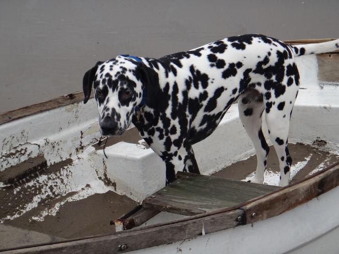 Dalmatian Standing In Boat