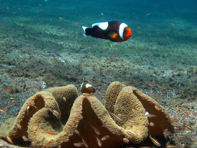Seacreatures Scuba Diving SCUBA Uwphotography Underwaterworld Scubadiving Diving Seacreature Findingnemo Nemo Saddleback Clownfish