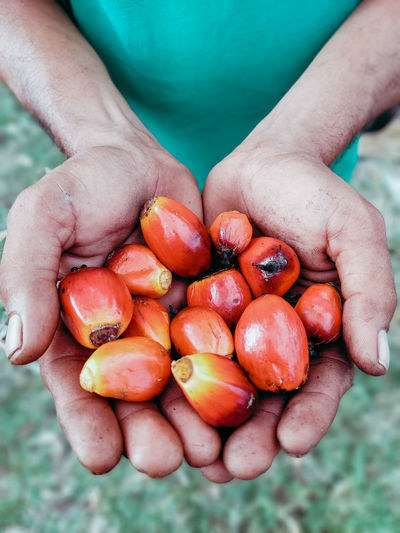 Palm fruit granules that must be collected because they have the highest yield of crude palm oil..