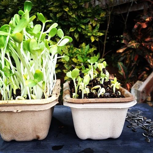 Microgreens working on a video how to grow micro greens ? ????