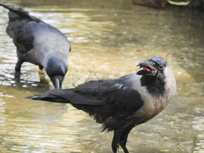 Black Water House Crow Lakeside Lake Drinking Drinking Water Open Mouth Open Beak Bird Water Lake Close-up Raven - Bird Crow Beak Two Animals Animal Neck