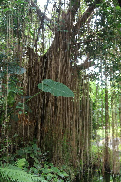 Jungle Liana Tree Green Color Forest Tree Trunk Day Outdoors Nature Growth Beauty In Nature Leaf Branch Sky No People