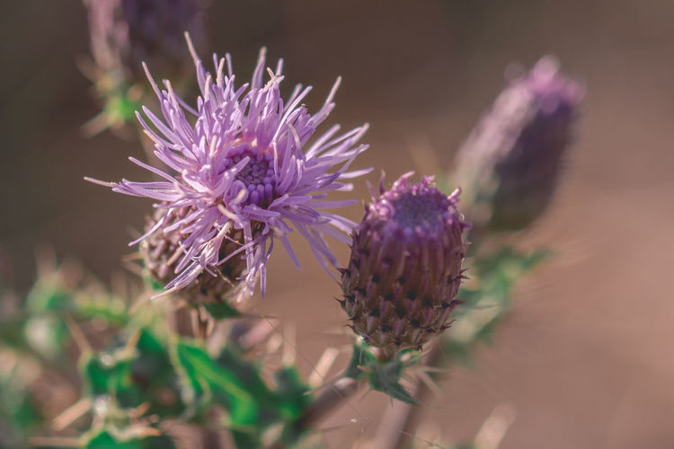 Flower Flowering Plant Freshness Plant Beauty In Nature Close-up Growth Fragility Vulnerability  Petal Nature No People Purple Inflorescence Flower Head Selective Focus Thistle Focus On Foreground Day Outdoors Spiky