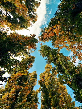 Autumn Autumn colors Tree Branch Forest Backgrounds Sky Treetop Lush Upward View Vegetation Foliage Botanical Scenery Sunshine Leaves Relaxing Moments Flora Greenery Daytime Blue Sky